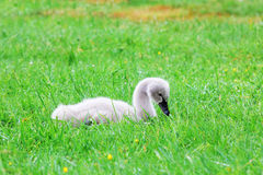Black Swan Chick laying in the Grass Stock Image