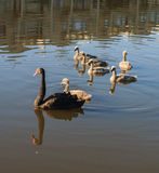 Black swan with chicks Stock Image