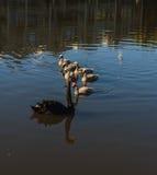 Black swan with chicks Stock Photos