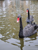 Black Swan. 2015.2 on China,Captured in Chengdu, China Nanhu Park Stock Photos