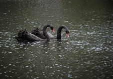 Black Swan Couple Royalty Free Stock Photo