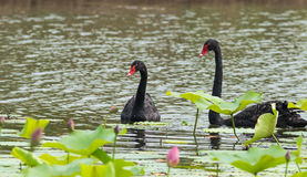 Black swan couples Royalty Free Stock Photos