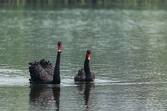 Black swan couples Royalty Free Stock Images