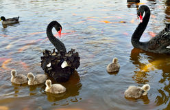 The black swan. Black swan couples and their babies stock image