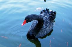 Black Swan - Creative Commons by gnuckx Royalty Free Stock Photography