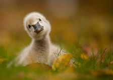 Black swan. Cute black swan baby in grass Stock Photos