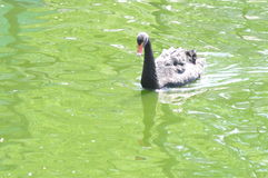 Black Swan cuts the water surface . Royalty Free Stock Photography
