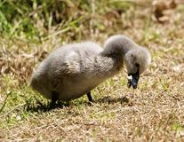 Black Swan Cygnet Royalty Free Stock Images