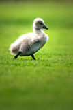 Black Swan Cygnet Royalty Free Stock Image