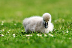 Black Swan Cygnet Stock Photo