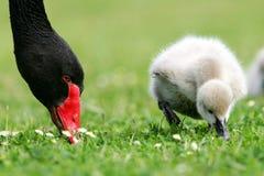 Black Swan Cygnet Stock Images