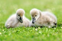 Black Swan Cygnet Stock Photos