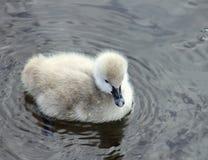 Black Swan Cygnet. Close up of single black swan cygnet Stock Photo