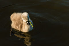 Black swan cygnet feeding on aquatic plant Royalty Free Stock Photography