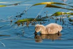 Black swan cygnet feeding on aquatic plants Stock Photos