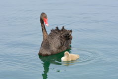 Black Swan And Cygnet Stock Photo