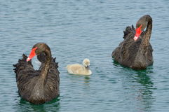 Black Swan And Cygnet Royalty Free Stock Image
