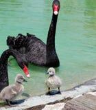 Black Swan and Cygnet Royalty Free Stock Photo