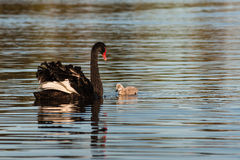 Black swan and cygnet Royalty Free Stock Images
