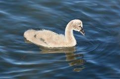 Black swan cygnet Stock Image