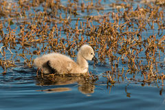Black swan cygnet searching for food Royalty Free Stock Photo