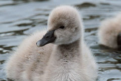 Black swan cygnets closeup. Very cute black swan cygnets follow their parents swimming on the pond Royalty Free Stock Photos