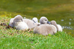 Black Swan Cygnets Stock Images