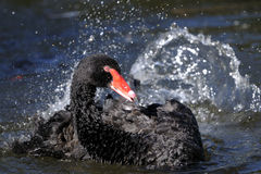 Black swan, cygnus atratus Royalty Free Stock Photos