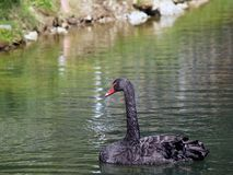 Black Swan - Cygnus atratus Royalty Free Stock Photo