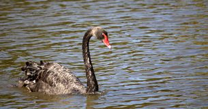 Black Swan (Cygnus Atratus) Stock Photos
