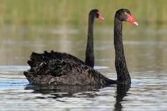 Black Swan (Cygnus atratus) Stock Images