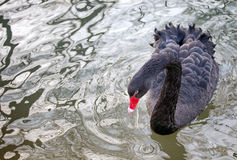 Black Swan (Cygnus atratus). The only Australian swan, while one with an almost black coloring royalty free stock images