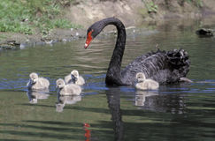 Black swan, Cygnus atratus Stock Photos