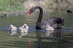 Black swan, Cygnus atratus Stock Photos
