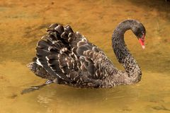 A juvenile black swan gliding across the water stock photography
