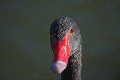 Black Swan (Cygnus atratus). Royalty Free Stock Image