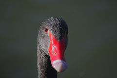 Black Swan (Cygnus atratus). Stock Photography