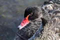 Black Swan (Cygnus atratus) Royalty Free Stock Photos