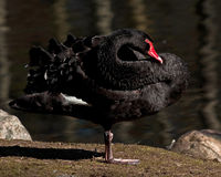The black swan, Cygnus atratus Stock Photo