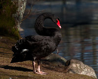 The black swan, Cygnus atratus Stock Photos