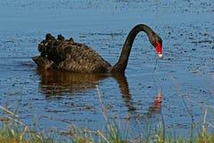 Black Swan. (Cygnus atratus) feeding on lake near Killarny Beach,Vic Royalty Free Stock Images