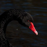 The black swan, Cygnus atratus Royalty Free Stock Images