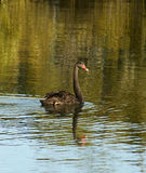 Black Swan. (Cygnus atratus) on lake with trees reflecting in the water Royalty Free Stock Photo