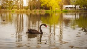 Black Swan at sunset on the lake in Canberra, Australia. The Black Swan Cygnus atratus is a large waterbird, a species of swan native to southeast and southwest Stock Photos
