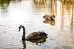 Calm landscape with Swans at sunset in Canberra. The Black Swan Cygnus atratus is a large waterbird, a species of swan native to southeast and southwest regions stock images
