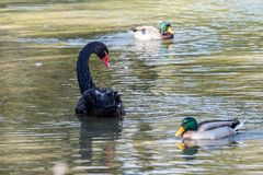Black Swan, Cygnus atratus in a german nature park. The Black Swan, Cygnus atratus is a large waterbird, a species of swan which breeds mainly in the southeast stock photo