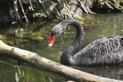 Black Swan. The black swan (Cygnus atratus) is a large waterbird, a species of swan, which breeds mainly in the southeast and southwest regions of Royalty Free Stock Photo