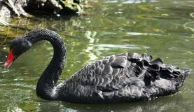 Black swan. The black swan Cygnus atratus is a large waterbird, a species of swan, which breeds mainly in the southeast and southwest regions of Australia. The Stock Image