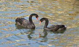 Black swan Cygnus atratus Stock Images