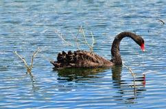 Black swan - Cygnus atratus Stock Photo